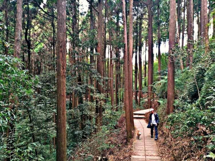 雲林杉林步道