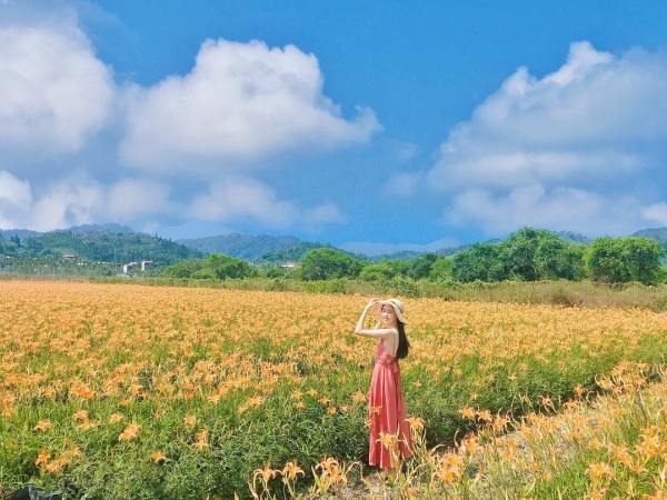 日月潭頭社金針花海是台灣唯一的水田金針花