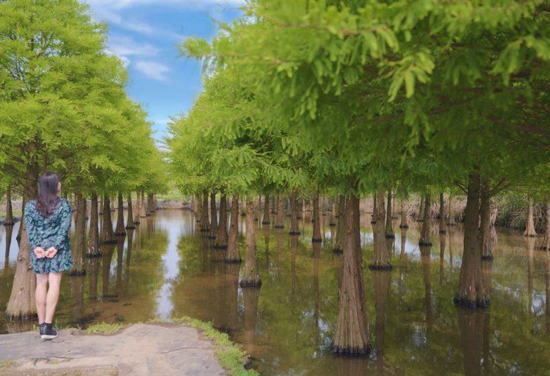桃園景點 桃園一日遊 桃園玩什麼 落羽松 双源魚菜共生農場