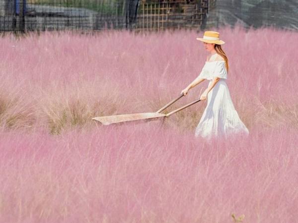 南投景點|南投集集粉芒園-粉紅愛情草(和平快樂田園)|粉紅景點