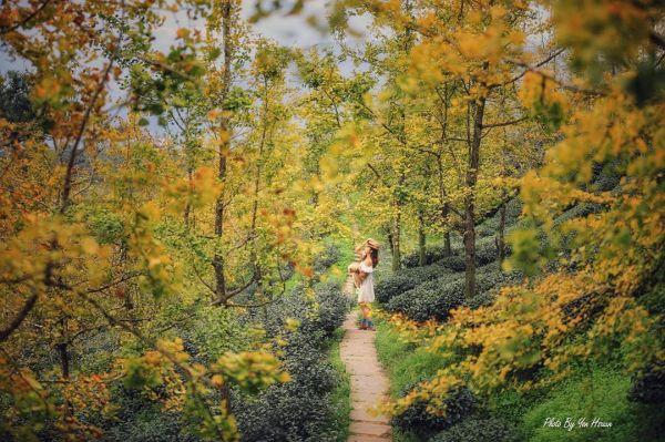 南投景點|銀杏森林|南投鹿谷|秋景|銀杏