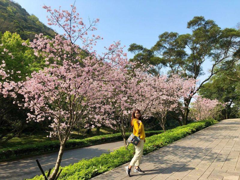 陽明山公園陽明山花季