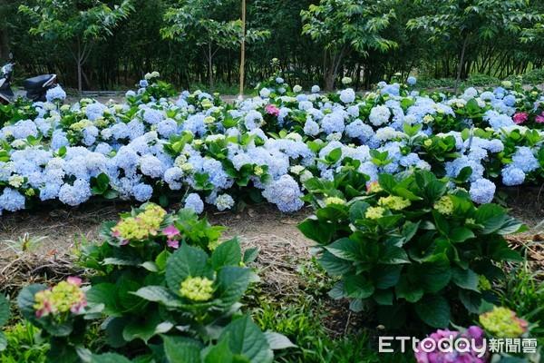 ▲陽光休閒農莊繡球花。(圖/記者彭懷玉攝)