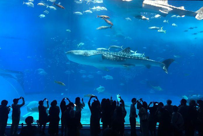 ▲沖繩觀光巴士路線景點-沖繩美麗海水族館。(圖/Tripbaa趣吧!亞洲自由行專家)
