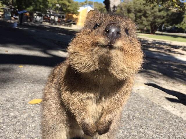 ▲澳洲伯斯特有動物-短尾矮袋鼠。(圖/Tripbaa趣吧!達人帶路)