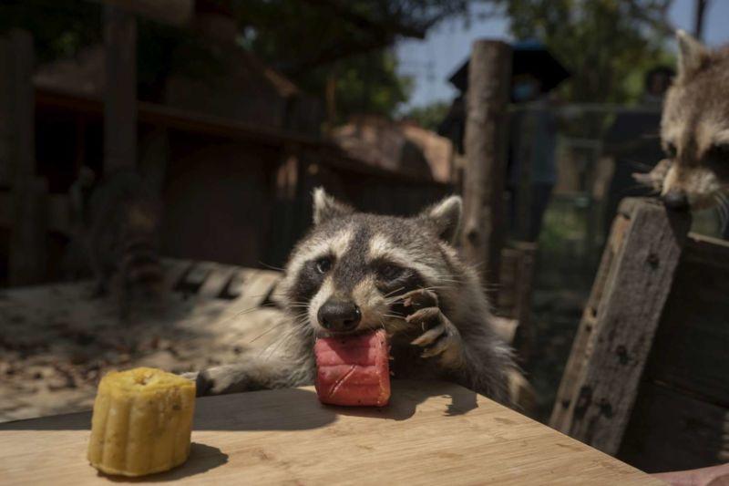 浣熊搶吃園方特製月餅 圖/新竹市立動物園