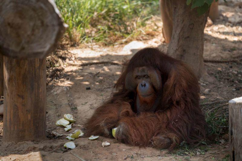 紅毛猩猩剝柚子 圖/新竹市立動物園