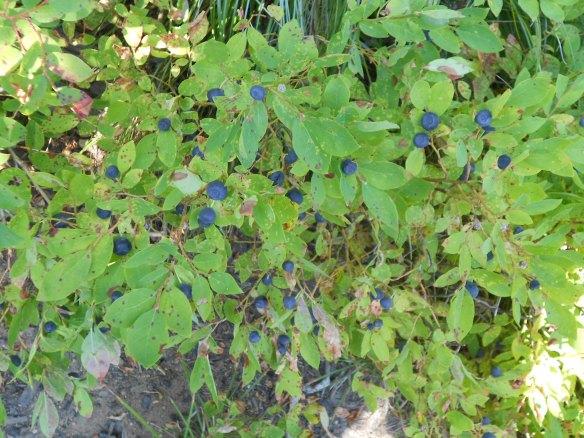 This years crop of huckleberries is very good.