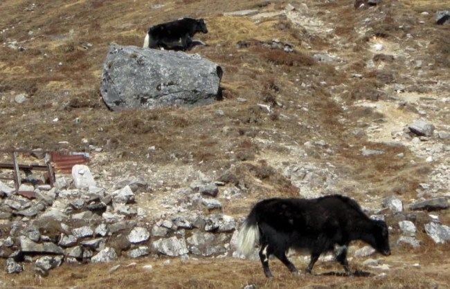 Wild Yaks - A road trip from Gangtok to Nathula at an altitude of 14,400 feet