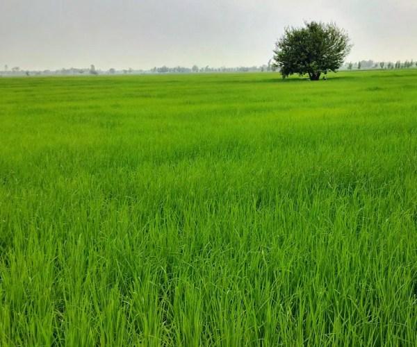 Punjab Paddy