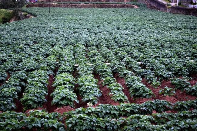 Potato farm in Kodaikanal