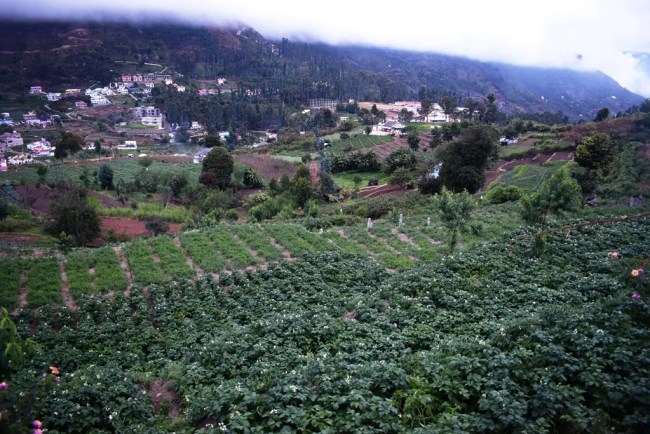 Potato Farm Kodaikanal