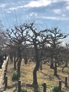 2月16日の梅の開花状況