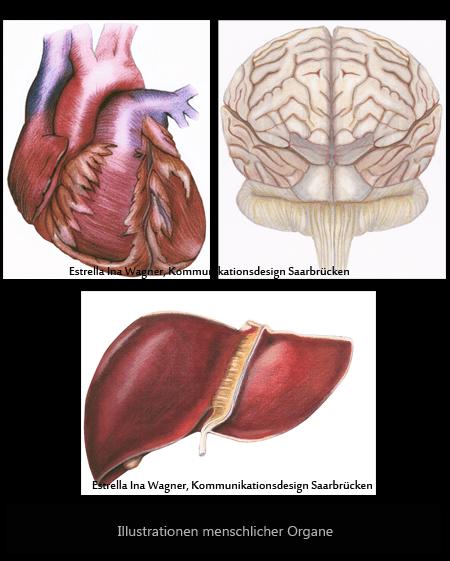 Herz, Leber, Gehirn, Illustration Organe
