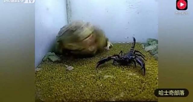 kjk Aneh Banget, Katak Ini Memangsa Ular bahkan Hewan beracun Lainnya