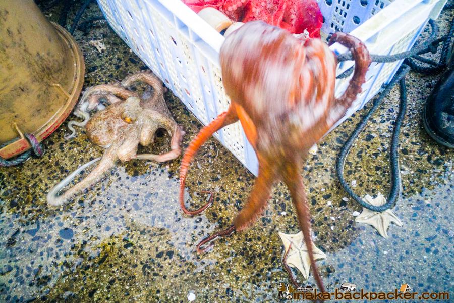 石川県 能登 穴水町 岩車 タコ Octopus in Iwaguruma Anamizu Ishikawa Noto Countryside fisherman