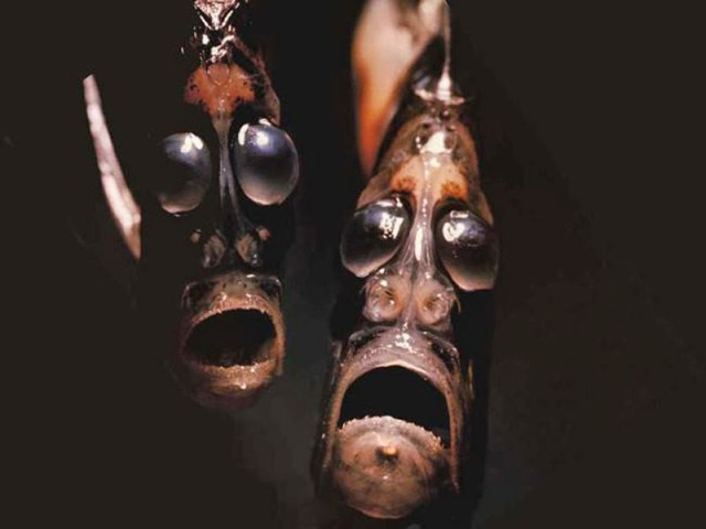hatchetfish-PS
