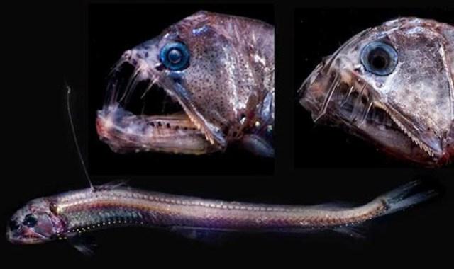 viperfish-PS