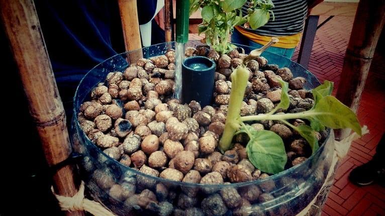 cultivo-acuaponico