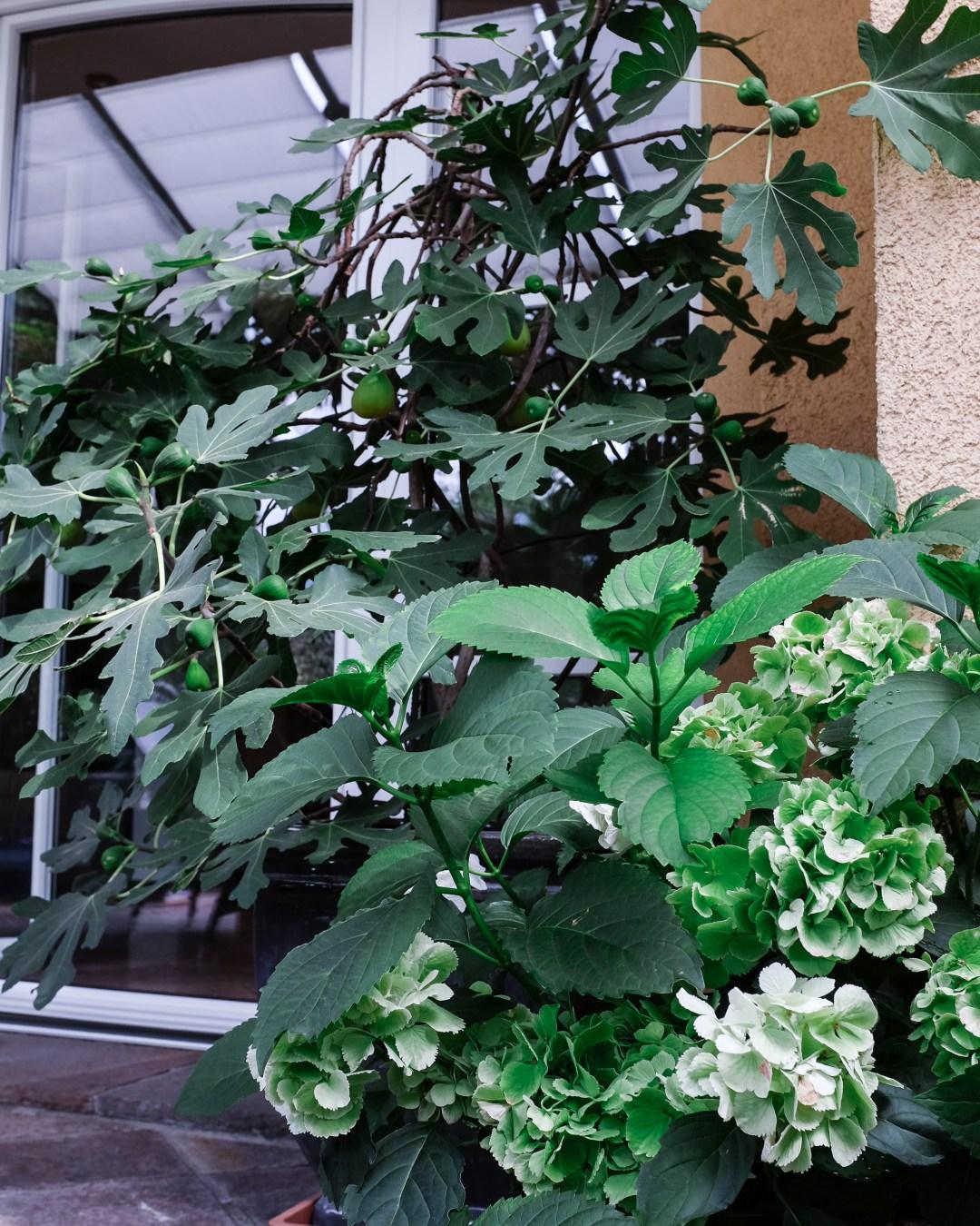 inastil, tomaten, feigen, mein Garten, erste Ernte, Gartenfrüchte, Sommerabend, Nektarinenkuchn, Sommerzeit, Ü50Blogger, Rezept-6