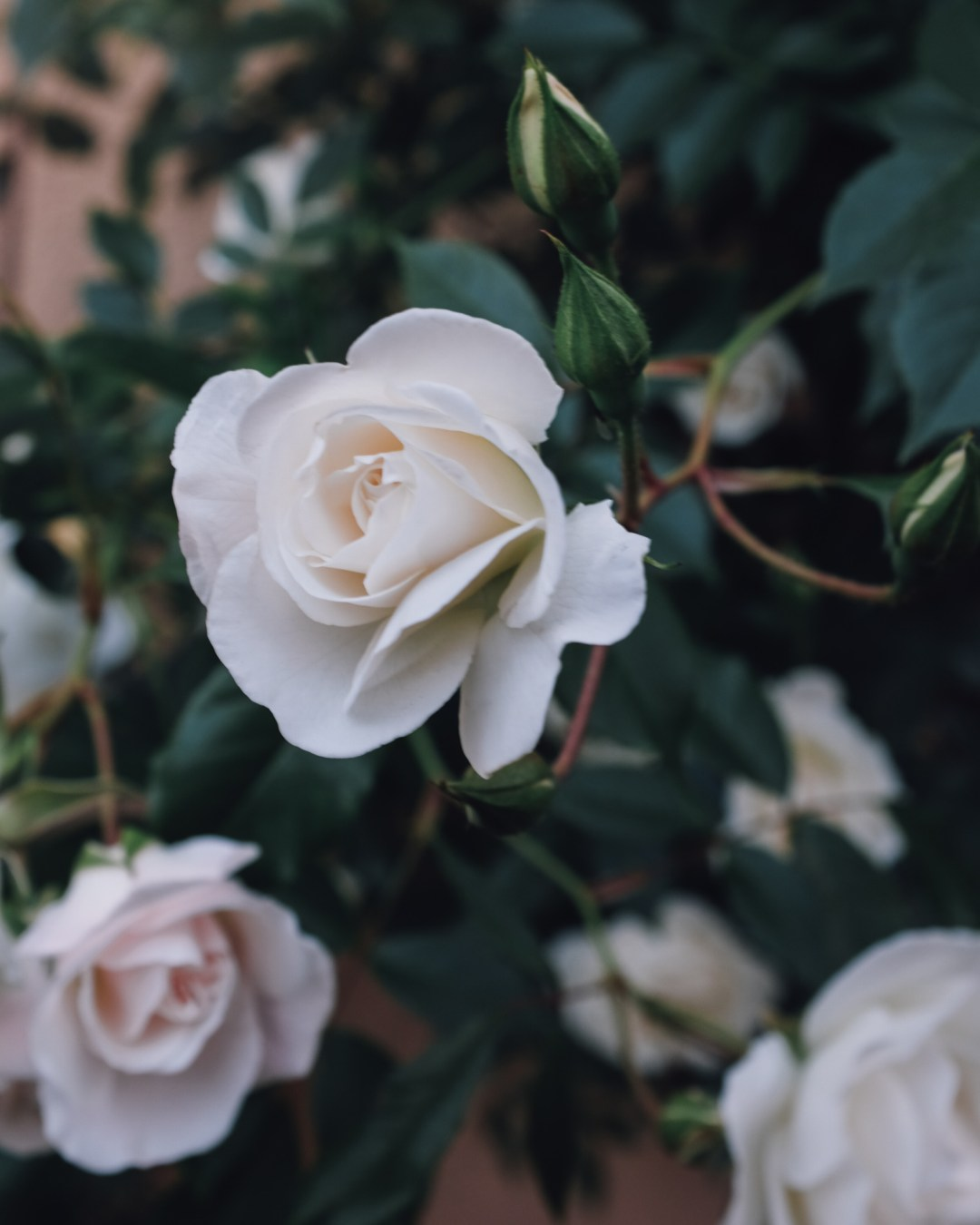inastil, over50blogger, rosen, historische rosen, garten, sommergarten, rosengarten, gartenliebe, holler, holunder, holundersirsup, hugo, sommerabend, rosenliebe, haus und garten, rosenstrauß-11