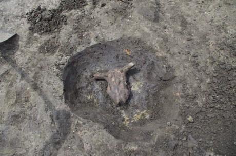 Ritually buried Bovid heads found