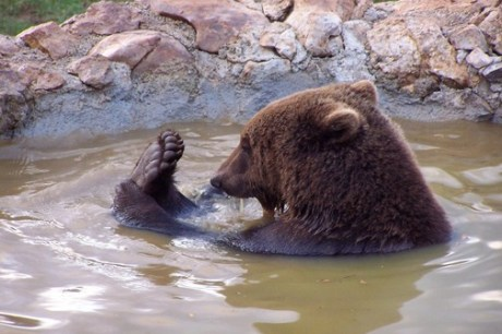 Brown Bear Kuterevo Bear Refuge
