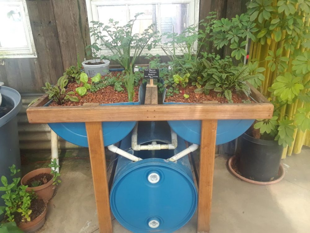 Backyard Aquaponic with Barrel