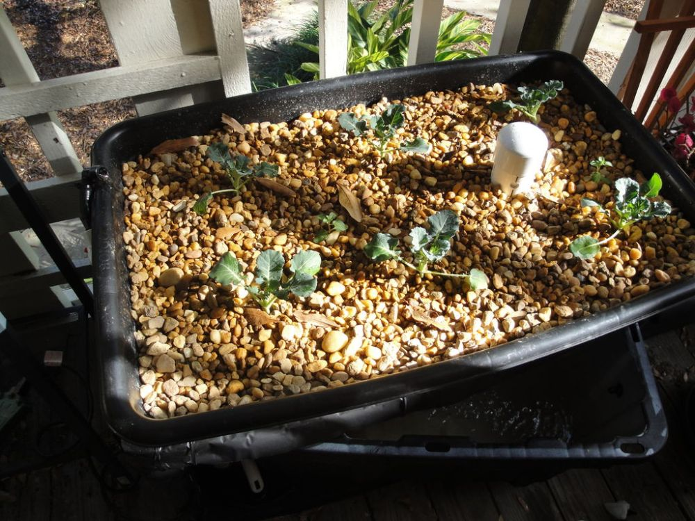Gardening in Aquaponic Kit