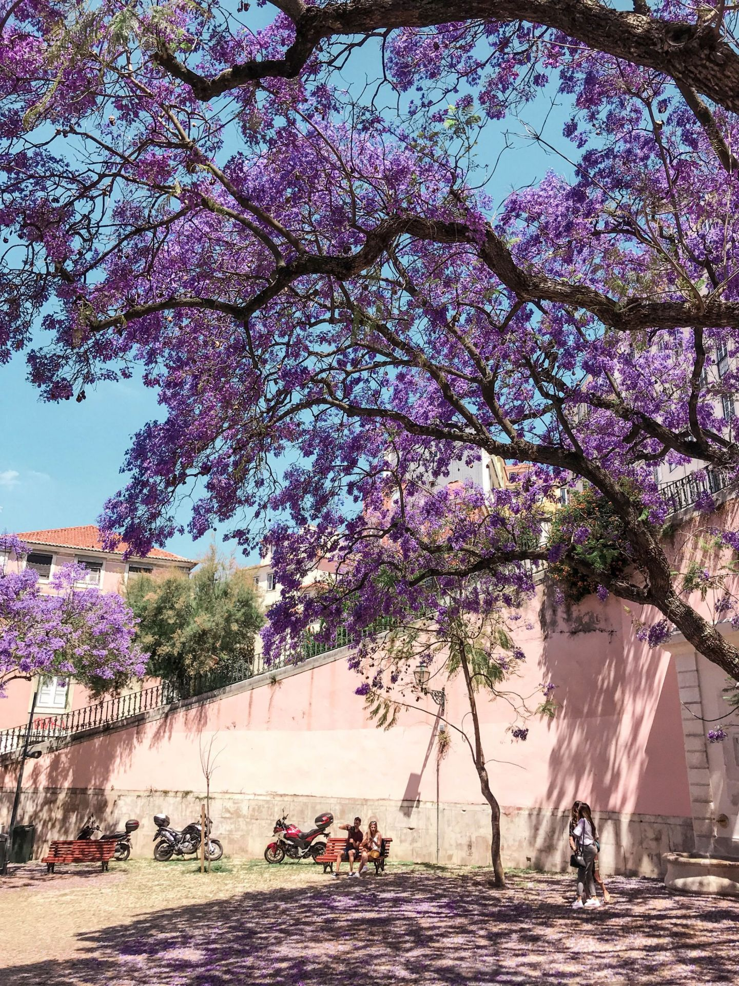 Jacarandas in bloom in Lisbon