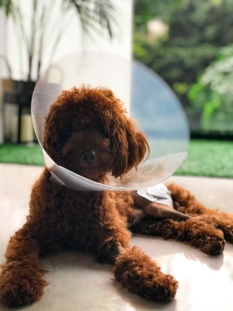 FHO Surgery Toy Poodle