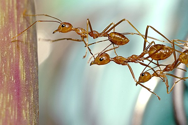 Photos of ants working as a team