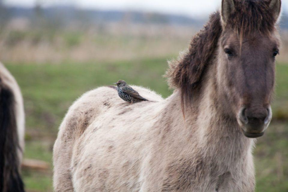 paard in de Oostvaardersplassen met vogeltje op de rug