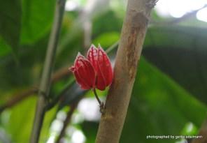 Kaffee- oder Pfefferblüte?