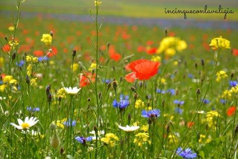 La fioritura della lenticchia a Castelluccio