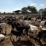 How To Start Goat Farming In Nigeria