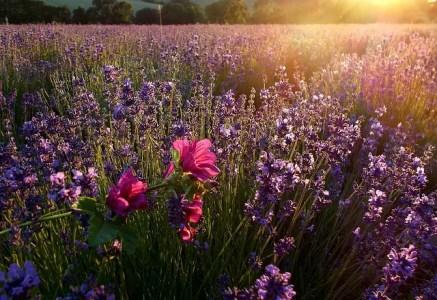 Culture de lavandes en Provence