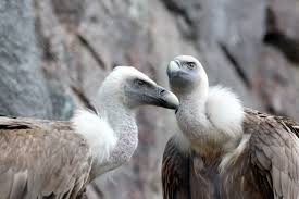 Les vautours dans la Drôme : un patrimoine exceptionnel (à découvrir)