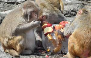 Rhesus macaques are known alcoholics in the animal world.