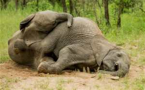 The mystery myth that even an elephant can get drunk on the fruits of the marula tree, but there's actually little evidence that this has ever happened.