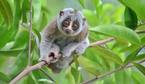 The slow loris are also know to enjoy the occasional fermented good.