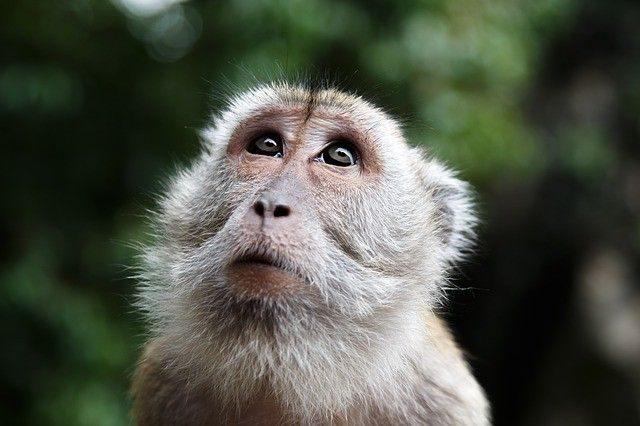 majom-malajzia-640x426