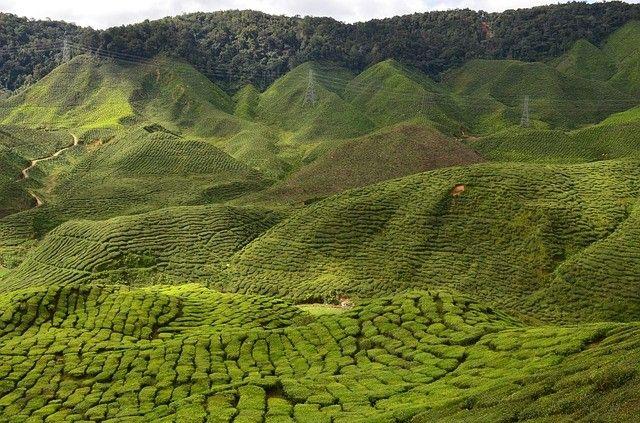malajzia-taj-dzsungel-rizsfoldek