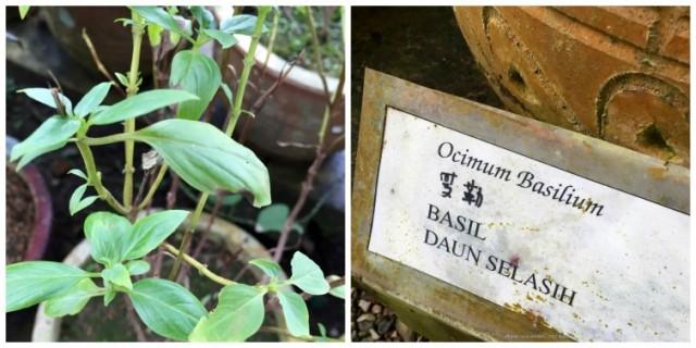 bazsalikom-malajzia-malaj-gyogynovenyek