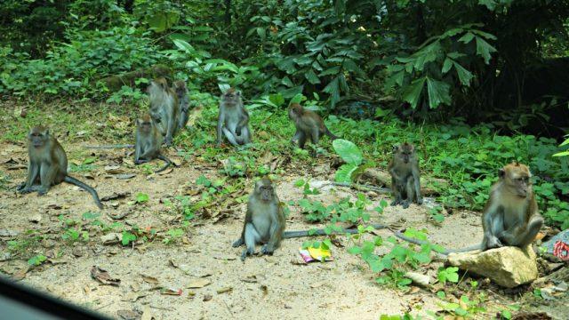 majmok-langkawin-malajzia