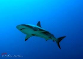 Shark - Jardines de la Reina