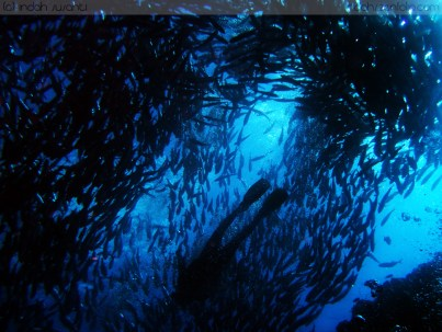 School of Fish and Free Diver
