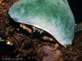 Smurf Crab