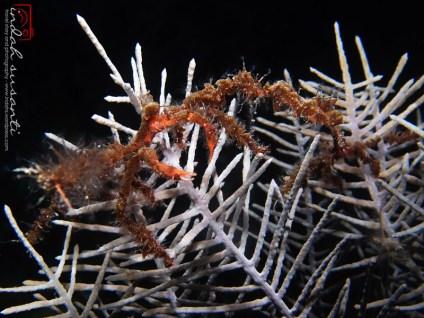 Neck Crab Podochela sp