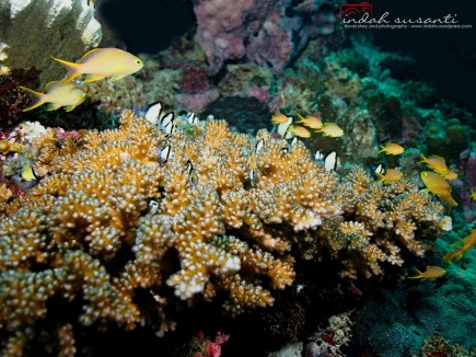 Corals are perfect place for juveniles to hide